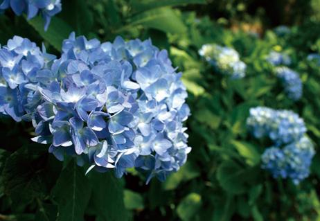 美の山(蓑山) 梅雨時期にはアジサイが咲き乱れ、撮影に訪れる人も多い