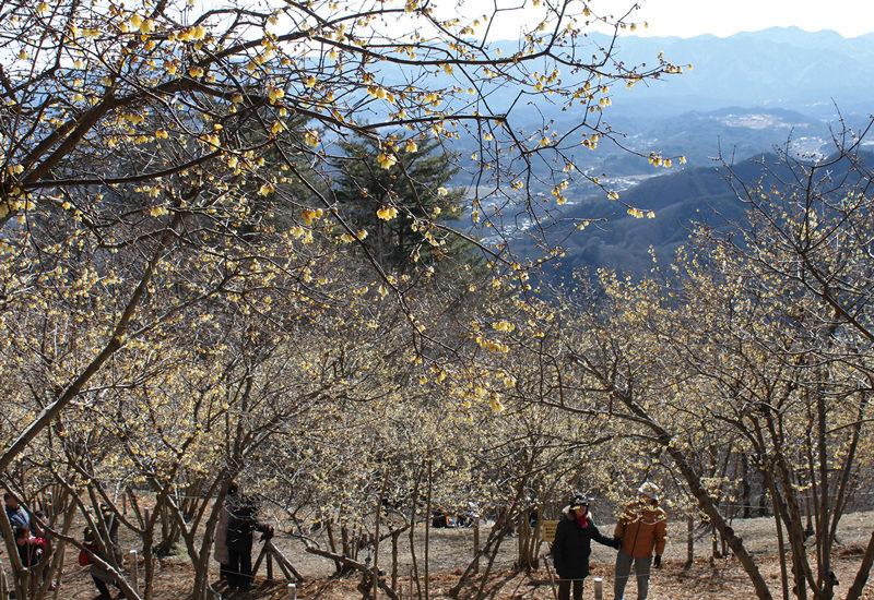 宝登山 あまずっぱい香りがただよう、山頂のロウバイ園。展望も抜群
