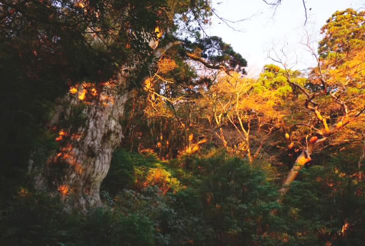 縄文杉 可能なら日帰りでなく一泊したい。朝焼けに染まる赤縄文は荘厳だ