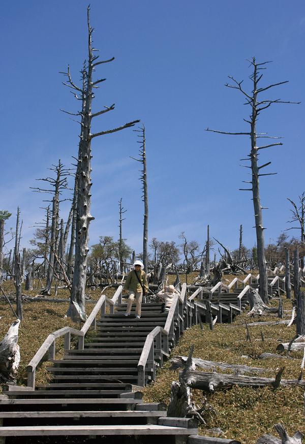 大台ヶ原 長い木製階段の設けられた正木峠への道。60年以上前は深い樹林だった