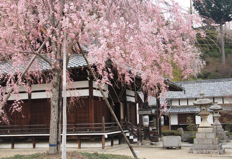 ポンポン山 京都市内よりひと足遅く咲く善峰寺のサクラ