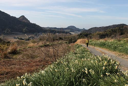 水仙ロード 見返り峠へ向かう。冬枯れの景色に、スイセンが晴れやかだ