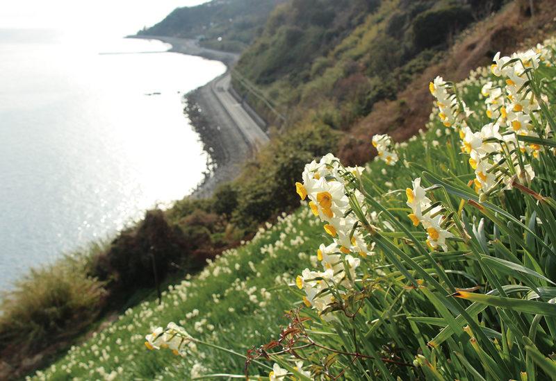 諭鶴羽山 大洋のきらめきとともにスイセンの花が楽しめる