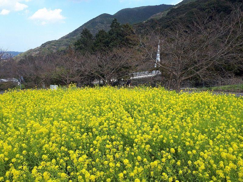 二条岳 加茂ゆらりんこ橋の菜の花畑